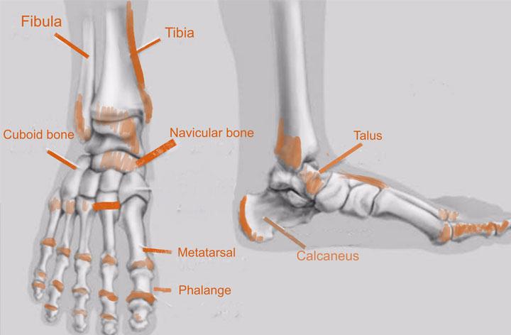 Foot Bone Human Anatomy for Artist