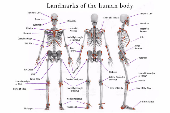 Landmarks of the human body
