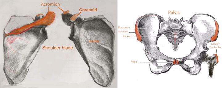 Shoulder Blade Bone
