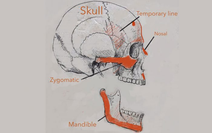 Skull Bone Anatomy for Artist