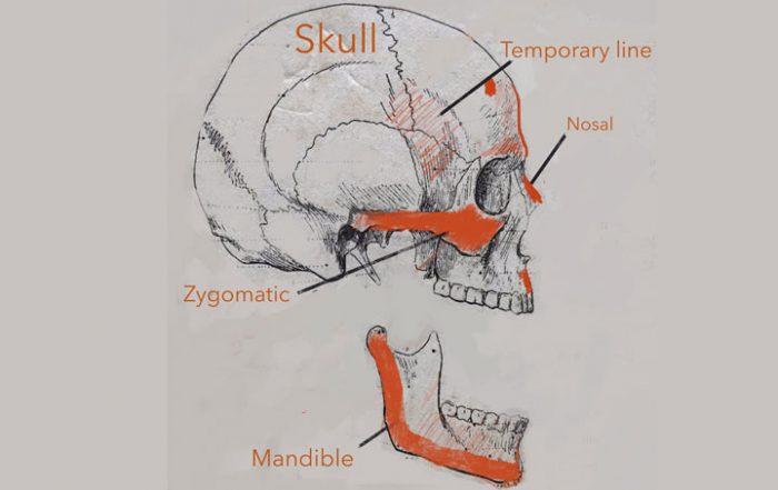 Skull Bone Anatomy for Artist